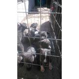 Se Venden Cachorros Pitbull Blue