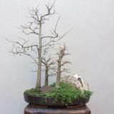 Bonsai Bosque De Celtis Australis Adulto Coleccion