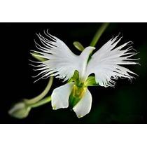 10 Sementes De Orquídea Garça Branca Flor Rara E Exótica