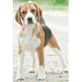 Sepa Todo Sobre El Beagle + Envío Gratis
