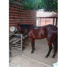 Cavalo Quarto De Milha De Vaquejada