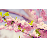 25 Semillas De Cerezo Japonés Sakura (prunus Serrulata)