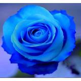 Rosa Azul Raras Exóticas/p Mudas 10 Sementes