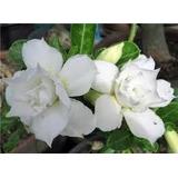 Rosa Do Deserto Branca 20 Sementes Adenium Obesum