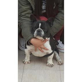 Bulldog Francés Para Servicios Exc