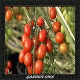 Frete Grátis *** 100 Sementes Tomate Uva Grape Sweet