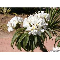 Palma De Madagascar Pachypodium