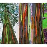 Muda De Eucalipto Arco Iris Das Felipinas Mudas 1m De Altura