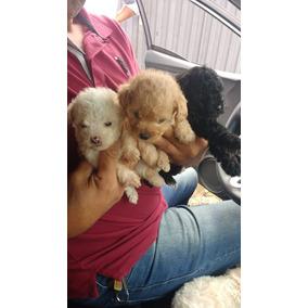 Poodle Micro Toy Vermelha E Branca Femeas Lindas Com Garant