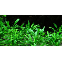 Cryptocoryne Parva 1 Planta Plantas Acuario