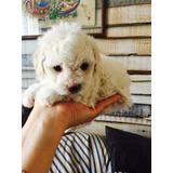 Bellos Poodle Mini Toy Todo Al Día