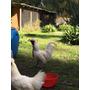 Sedosas Del Japon - Machos Y Hembras (gallinas)
