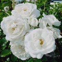 50 Sementes Flor Rosa Trepadeira Branca P/mudas Importadas
