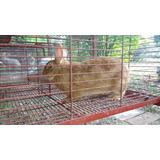 Conejos Leonado De Borgoña Puros