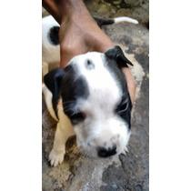 Filhote De América Pit Bull Terrier