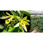 Muda Forte Orquidea Baunilha Estaca De 20cm Ou + Com Raizes