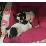 Cachorros Bulldog Frances Línea Mini Vaquitas