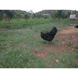 Ovos Galados De Galinha Caipira Gigante Negra Australorp