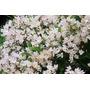 Maravillosos Arbustos De Deutzia Enana!!! Último!!!