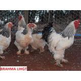 Ovos Galados De Galinha Brahma Light