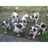 Lindos Cachorros San Bernardo