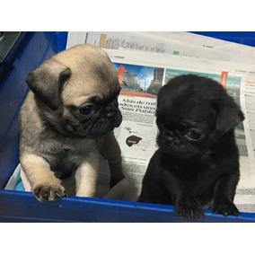 Cachorros Pug Promo Limitada Cash Desde