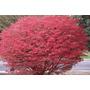 Espectaculares Arbustos Importados: Burning Bush!! Últimos!!