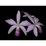 Orquídea Cattleya Violacea ( Coerulense X Coerulia )