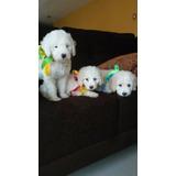 Hermosos Poodles Cachorros Papas De Casa