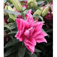 Bulbos Lilium Exoticos Flor Triple Esra X 3 Bulbos