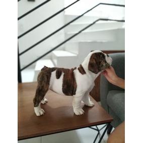Hermosa Cachorra Bulldog Ingles