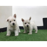 West Highland White Terrier - Westy - La Granja Cachorros