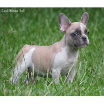 Bulldog Frances Femea Blue Fawn Pied ..pedigree Cbkc