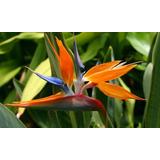 30 Sementes Da Flor Ave-do-paraiso - Jardins Naturais!