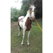 Cavalo Pampa Lindo E Serve Para Criancas