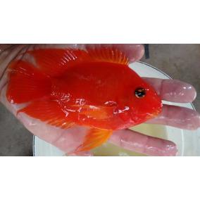 Peixe Papagaio King Kong Ou Kkp 4 A 6 Cm R$219