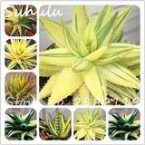 10 Sementes De Planta Aloe Vera Amarela Verde Raras*****
