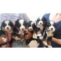 Filhotes De Bernese Mountain Dog Padrão Show