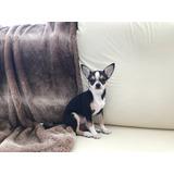 Chihuahua Hembra Cabeza De Manzana Pedigree Internacional