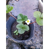 Plantines Organicos De Frutilla