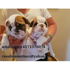 Cachorros De Bulldog Inglés Grueso Para La Adopción