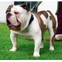 Bulldog Ingles Red Brindle Piebald,bulldog Ingles Monta