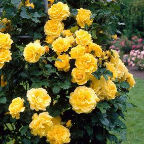 Muda De Rosa Trepadeira Amarelo Ouro !