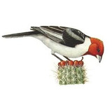 Hormônio Feromônio Pássaro Galo Da Campina Indutor Canto