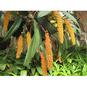 Orquídea Exótica, Bulbophyllum Careyanum, Adulta, Frete Grat
