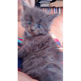 Maine Coon Filhotes Blue Reserva