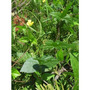 Poroto Azuki, Adzuki, Soja Roja Vigna Angularis Semillas