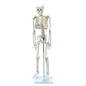 Esqueleto Humano 85cm Anatomia Completo Profissional