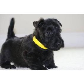 Scottish Terrier - Filhotes - Nova Ninhada - Março/2018