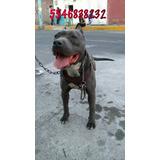 Bull Terrier Blue Hembra